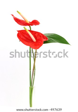Anthurium/Flamingo flowers in a vase - stock photo