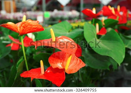 Anthurium flowers in huge greenhouse - stock photo