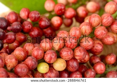 Antidesma thwaitesianum Mull.Arg., Ma-mao (thai name) Isan region of Thailand fruit with medicinal properties.