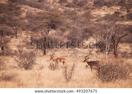 antilope impala in Samburu National Park, Kenya Africa