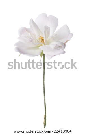 Antique garden rose isolated on white background.