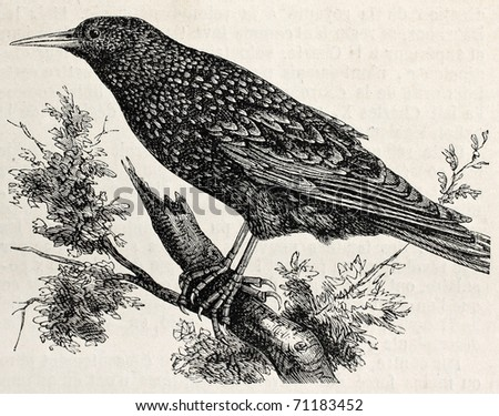 Antique illustration of a starling. Original, from drawing of Lallemand, was published on L'Illustration Journal Universel, Paris, 1860 - stock photo