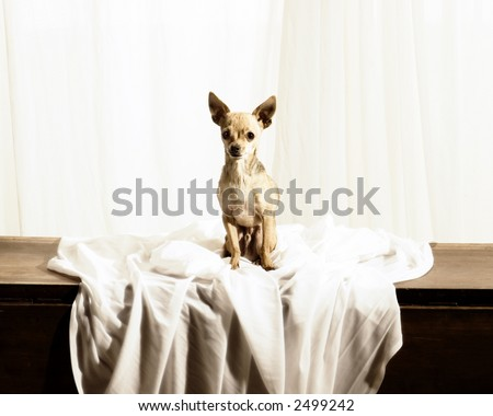 Antique Looking Photo of a Chihuahua - stock photo