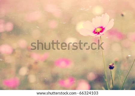 Antique textured of beautiful Cosmos flowers. - stock photo