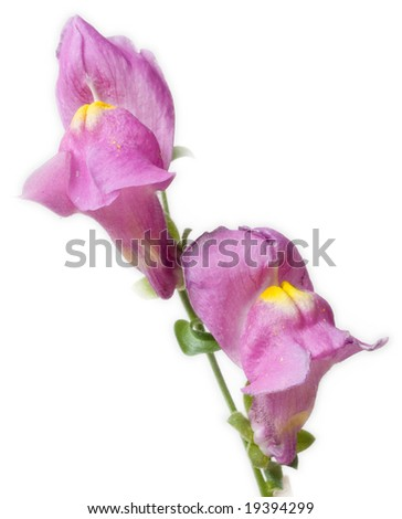 antirrhinum maius pair on white background - stock photo
