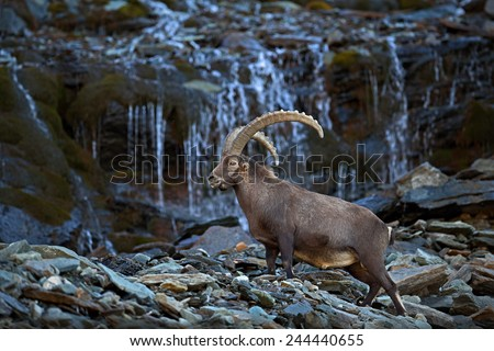Antler Alpine Ibex, Capra ibex ibex, with mountain waterfall and rocks and water in background, National Park Gran Paradiso, Italy - stock photo
