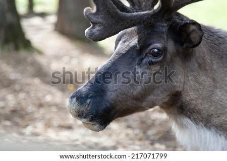 Antler, Deer in the zoo, safari in summer - stock photo