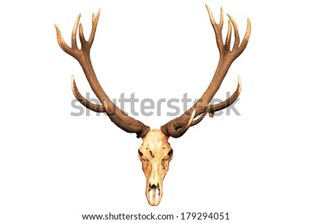 Antlers and skull isolated on white background. Path included - stock photo