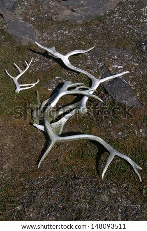Antlers in the Arctic - stock photo