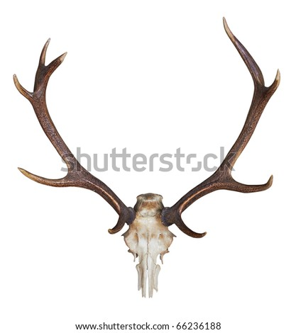 antlers of a huge stag isolated on white background - stock photo