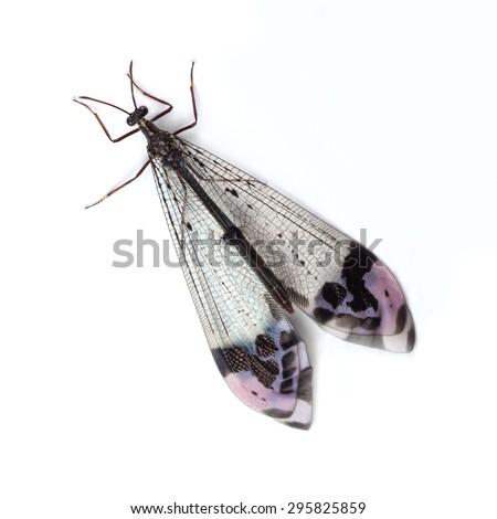 Antlion (Glenurus gratus) on a white background - stock photo