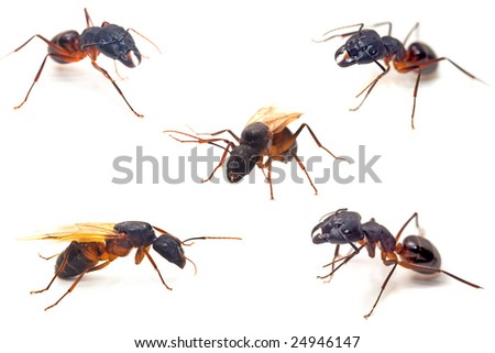 Ants close-up collections macro isolated on white - stock photo