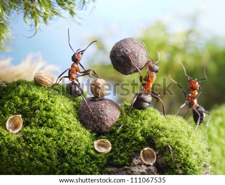 ants crack nuts with stone, hands off!  ant tales - stock photo