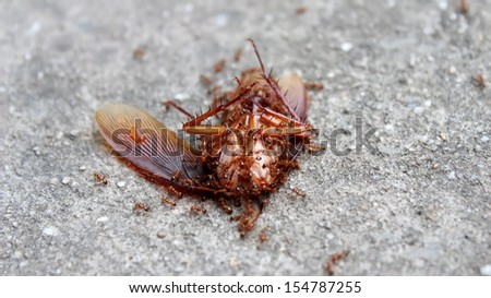 ants eat dead insect - stock photo