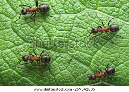 ants formica rufa on go                            - stock photo
