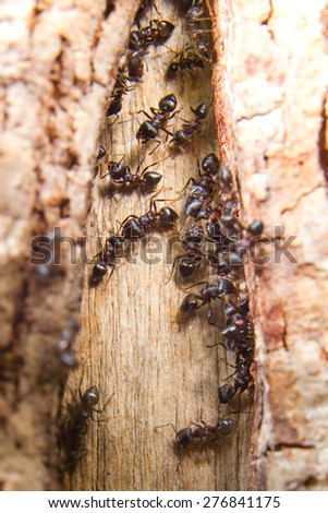 ants leaving their colony under wooden door step during swarming - stock photo