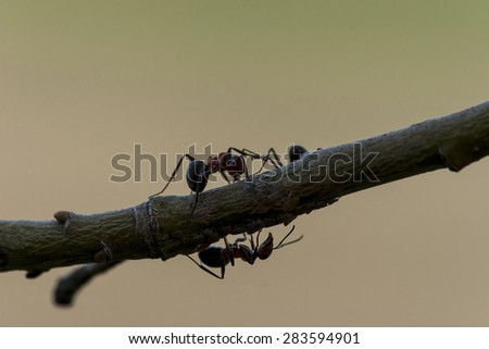 Ants on a branch in close-up - stock photo