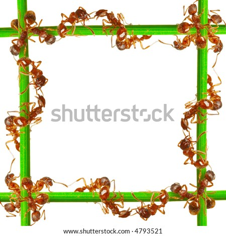 Ants on a green grass. On a white background. - stock photo