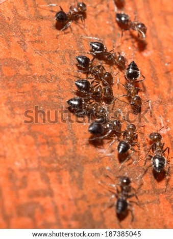ants on a wooden background. macro