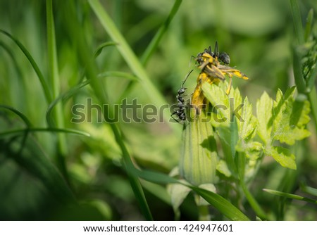 Ants on dandelion flower. Macro with shallow depth of field. - stock photo