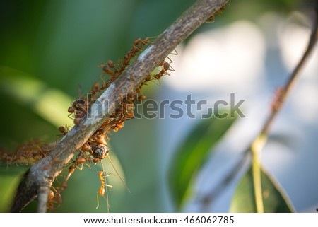 ants teamwork hunting focused of bait's cricket