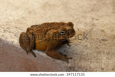 Anuran on grey background, brown tropical toad, poisonous frog, exotic animal, tropical amphibian, frozen frog, big tree toad, Philippines animal, night guest frog in the garden, night tropical garden - stock photo