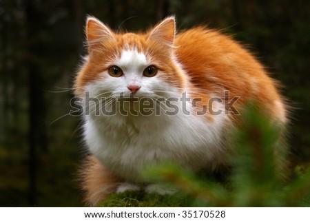anxious cat staring - stock photo