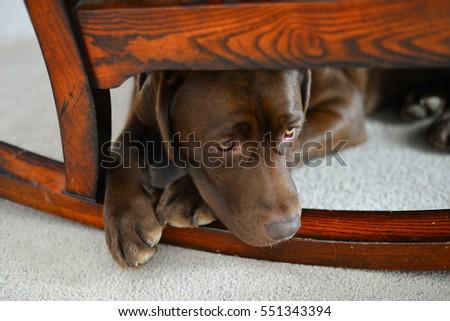Anxious chocolate Labrador Retriever hiding under a wooden rocking chair.