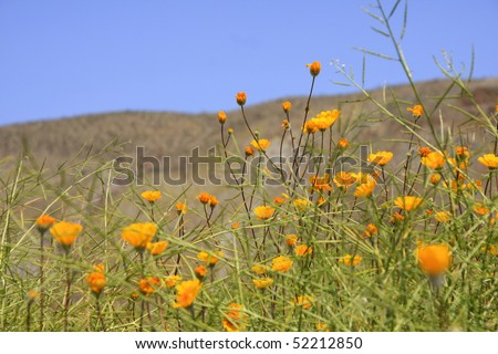 Anza Borrego Desert Marigold flowers - stock photo