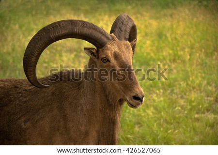 Aoudad ram sheep has large thick curved horns. They are also called Barbary sheep. - stock photo
