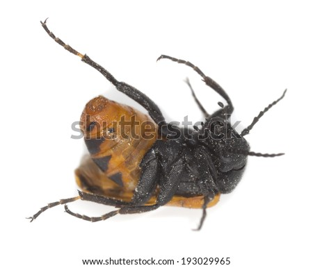 Apalus bimaculatus isolated on white background. This beetle needs mining bees to survive and is found in early springtime, this beautiful insect is endangered in Sweden  - stock photo