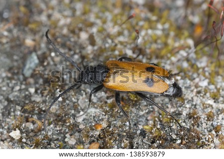 Apalus bimaculatus, this beetle needs mining bees to survive and is found in early springtime, this beautiful insect is endangered in Sweden - stock photo
