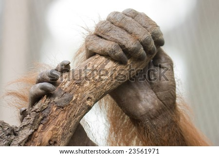 Ape holding himself at a limb - stock photo