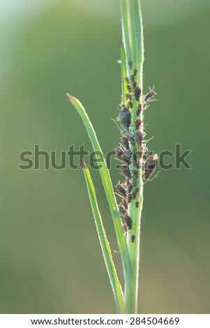 Aphids, also known as plant lice or greenflies, blackflies, or whiteflies - stock photo