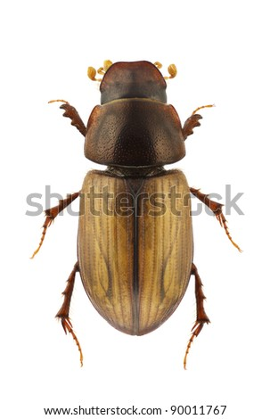Aphodius lugens, dung beetle, isolated on a white background - stock photo