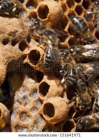 apiculture and honey bees working