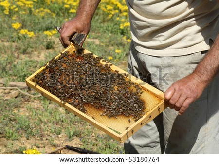 Apiculturist holding a honeycomb full of bees