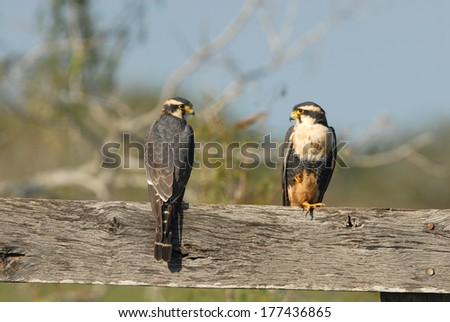 Aplomado falcons are very rarely seen in the US, mostly due to habitat loss. - stock photo