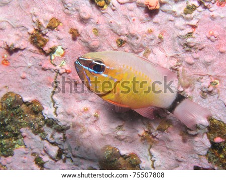 apogon fleurieu cardinalfish - stock photo