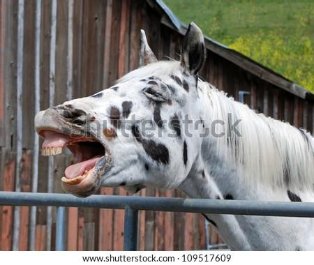 Appaloosa gelding yawning - stock photo