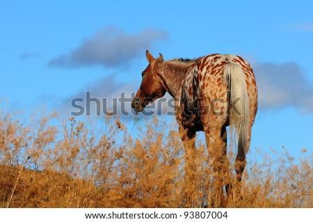 Appaloosa horse at dusk on ranch in Canada - stock photo