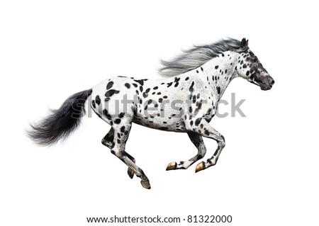 Appaloosa horse on a white background - stock photo