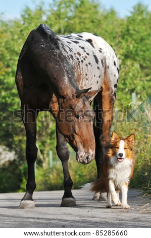 Appaloosa horse portrait in summer with puppy border collie - stock photo