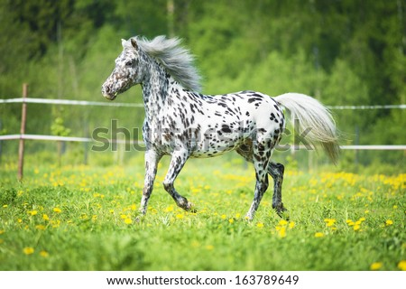 Appaloosa horse runs trot on the meadow in summer time   - stock photo