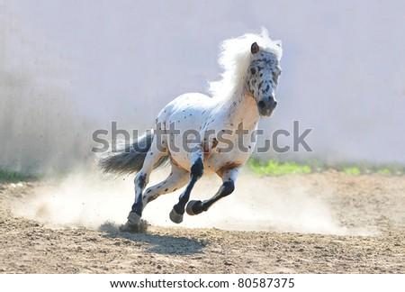 appaloosa pony in dust action shot - stock photo