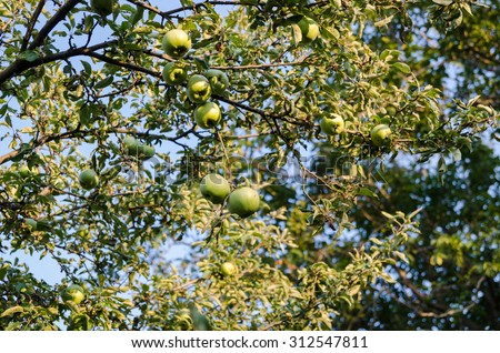 Appels in Tree, green and raw, fresh - stock photo