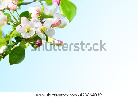 Apple blossom background. Selective focus. Flowers postcard. Flowers greeting . Birthday card. Birthday background. Apple blossom. Floral mockup.