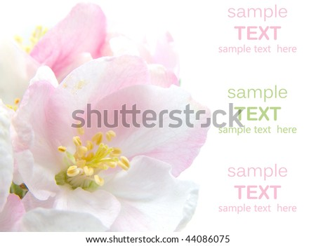 Apple Blossom closeup.Studio isolated with with room for text