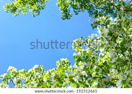 Apple blossom in full bloom over the blue sky background with shallow depth of field. Pretty spring background. - stock photo