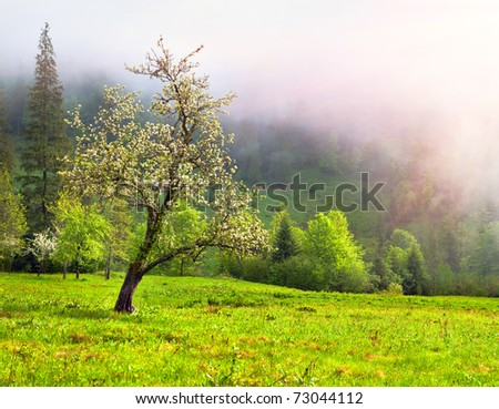 Apple blossom in spring in the mountains - stock photo